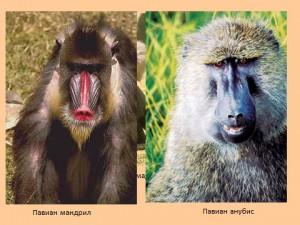 Приматы обезьяны человек