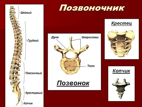 Позвоночник - строение скелета
