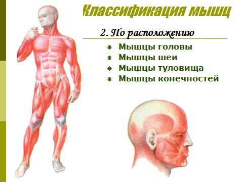 мышечная система человека и ее строение
