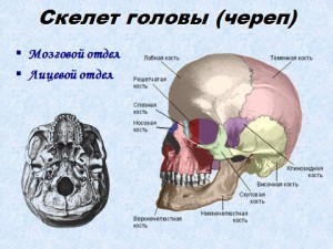 Скелет черепа презентация 8 класса биология
