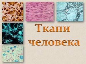 Ткани человека - презентация по биологии