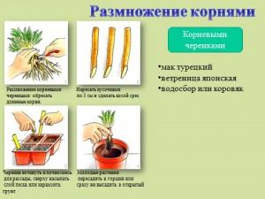 Вегетативное размножение презентация по биологии