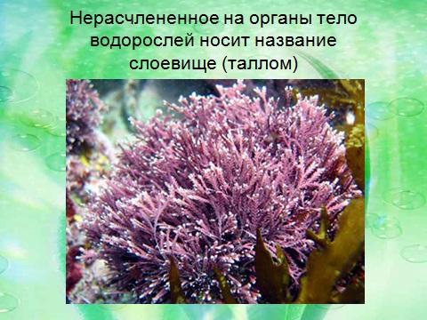 низшие растения водоросли