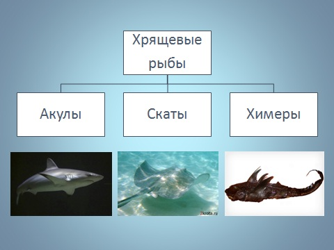 хрящевые рыбы.  Презентация на тему...