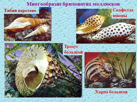 моллюски и их раковины