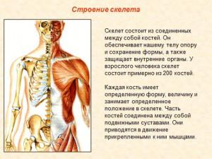 Презентация по биологии скелет человека