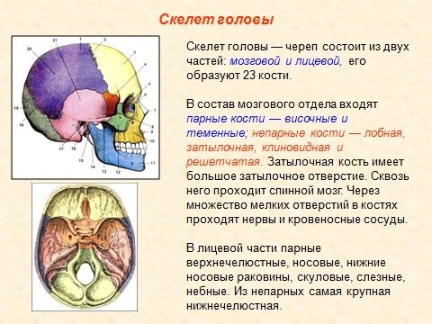 Череп человека и его кости