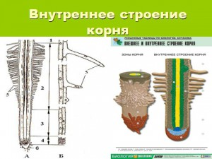 Корни растений - строение внутренне и внешнее