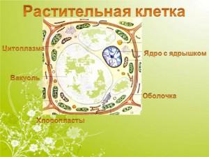 Растительная клетка и ее органоиды