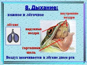 Земноводные - презентация по биологии