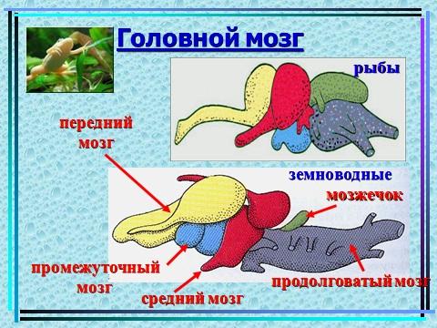 презентация по биологии земноводных