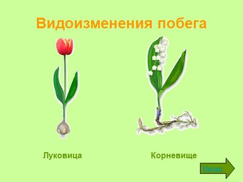 Лилии, Ландыши и Тюльпаны