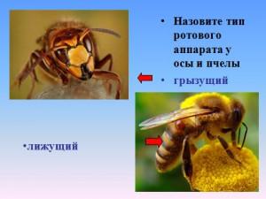 насекомые презентация по биологии 7 класса