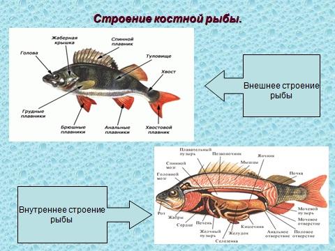 Рыбы презентация биология 7 класс