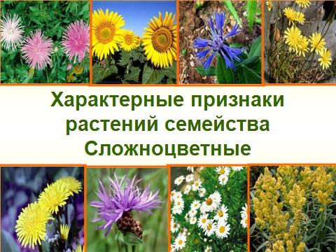 сложноцветные растения
