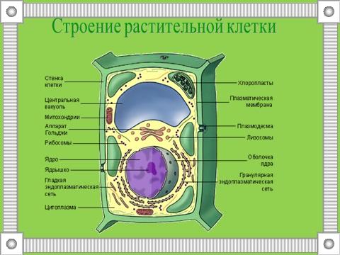 строение клеток растений