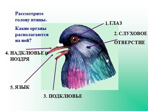 строение птиц внешнее