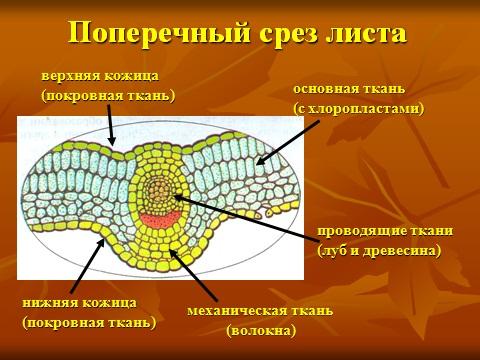 ткани растений презентация по биологии 6 класса