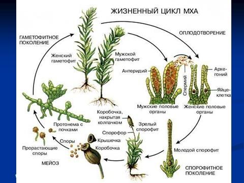 мхи и их многообразие значение мхов