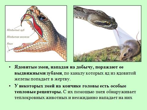 ядовитый зуб змей