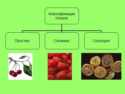 Плоды урок биологии в 6 классе