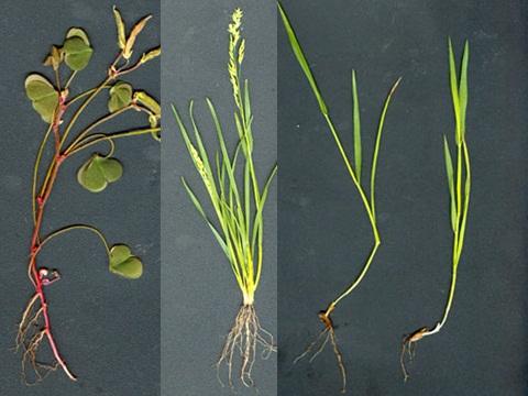 корни растений мочковатые  и стержневые