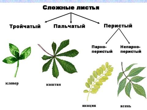 презентация о листьях в биологии 6 класса
