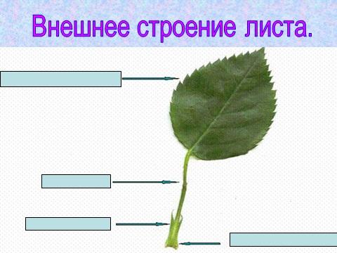 презентация по биологии 6 класса на тему лист и побег