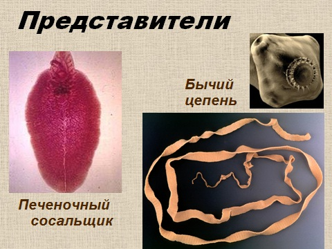 паразиты человека презентация по биологии 7 класса
