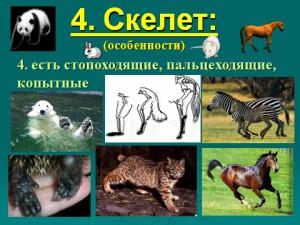 класс млекопитающие звери