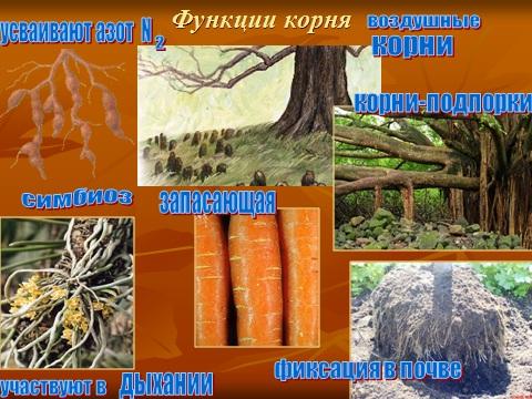 корни растений и их виды