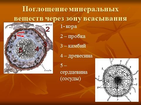 корни растений и их разновидности