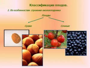 семена вкусные плоды
