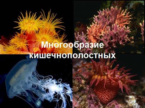 гидроидные сцифоидные и коралловые полипы
