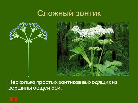 соцветия цветковых растений
