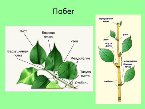 Состоит из оси (стебля) с расположенными на ней листьями и почками.  Главную.