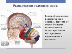 Головной мозг в презентации по биологии