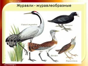 презентация по биологии 7 класса на тему Класс птицы