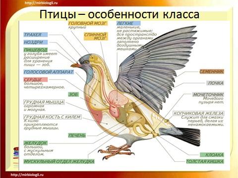 Общая харатеристика и особеннсти класса птицы а презентации по биологии