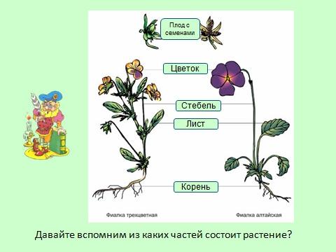 строение листьев в презентации по биологии