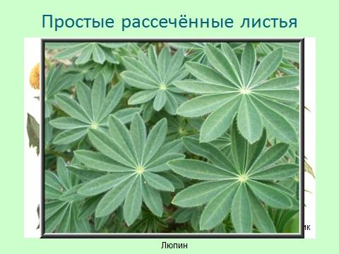строение простых листьев