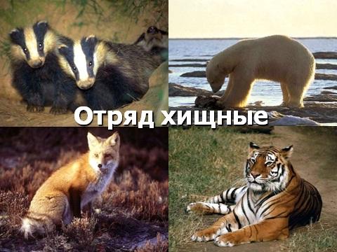 Презентация на тему хищные млекопитающие