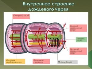 Тип кольчатые черви в презентации по биологии 7 класс