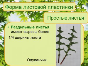 Презентация по биологии 6 класса на тему внутренее и внешнее строение листьев