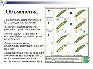 Презентация по биологии на тему законы менделя