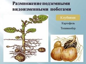 Размножение клубнями в презентации по биологии