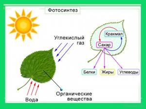 Значение лисьтев в презентации по биологии