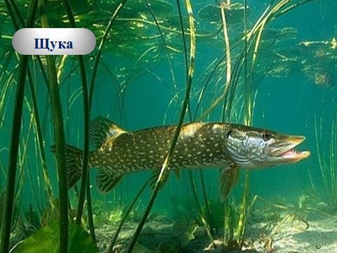 презенатция по биологии на тему рыбы