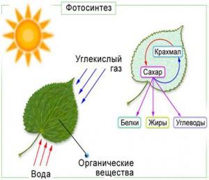 Контрольная работа на тему Фотосинтез