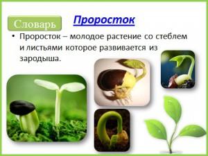 Презентация на тему развитие проростка